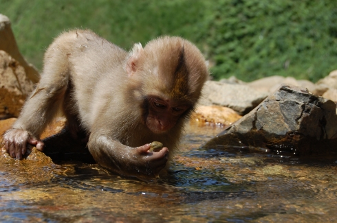 Shigakogen_Yudanaka-Yaenkoen_2010_0824_Young_Monkey_Picks_up_rock_to_examine